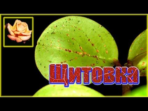 Вредители Все о комнатных растениях на flowerswebinfo