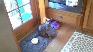 Zephyr the Oriental Shorthair Cat, Talking to His Cat Sitter