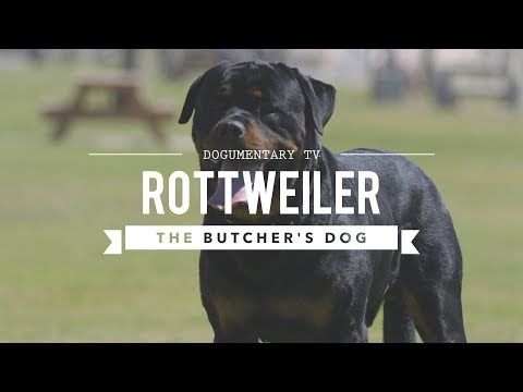 ALL ABOUT ROTTWEILERS : THE BUTCHER'S DOG