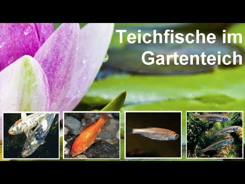 teichfische im gartenteich goldfisch koi goldorfe moderlieschen bitterling elritze youtube. Black Bedroom Furniture Sets. Home Design Ideas