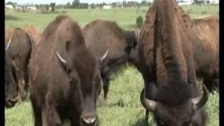 Cheyenne & Arapaho Aerials/Buffalo