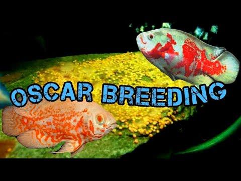 Oscar Fish Breeding EASILY