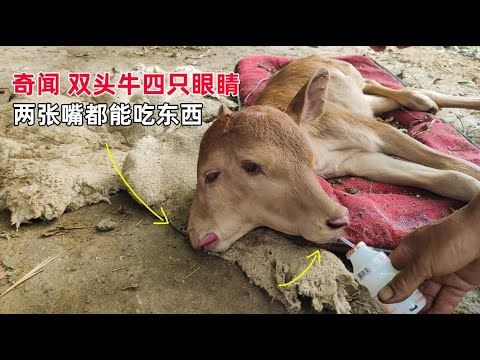 There is an unsolved mystery that one head of cattle with two heads and four eyes in Guizhou.