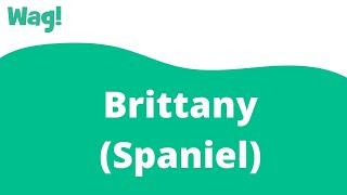 Brittany (Spaniel)   Wag!