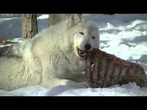 Wolves Eating Buffalo Meat