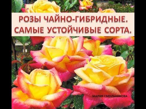 Розы чайно гибридные . Самые устойчивые сорта .