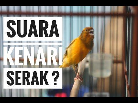 Download Lagu SUARA KENARI SERAK : Begini Cara Mudah Mengobatinya