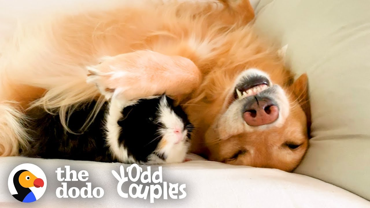 Animal Odd Couples Youtube guinea pig follows his favorite golden retriever everywhere | the dodo odd  couples