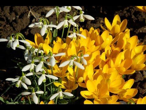 Вопрос: Что делать с эрантисом (весенник) после окончания цветения?
