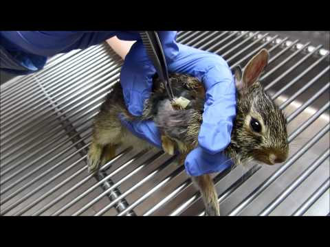 06-06-2014 Baby Cottontail's drain is removed