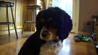 Eddie, My 2 Year Old Tri-color Cavalier King Charles Spaniel.mp4