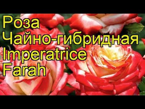 Роза чайно-гибридная Императрица Фарах. Краткий обзор, описание характеристик Imperatrice Farah