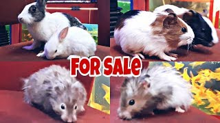 🔥Guinea Pig🔥Hamsters🔥Rabbits🔥 Full Information Of All.