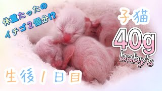 [1st day after birth] 40g small kitten was born Birth & child care record