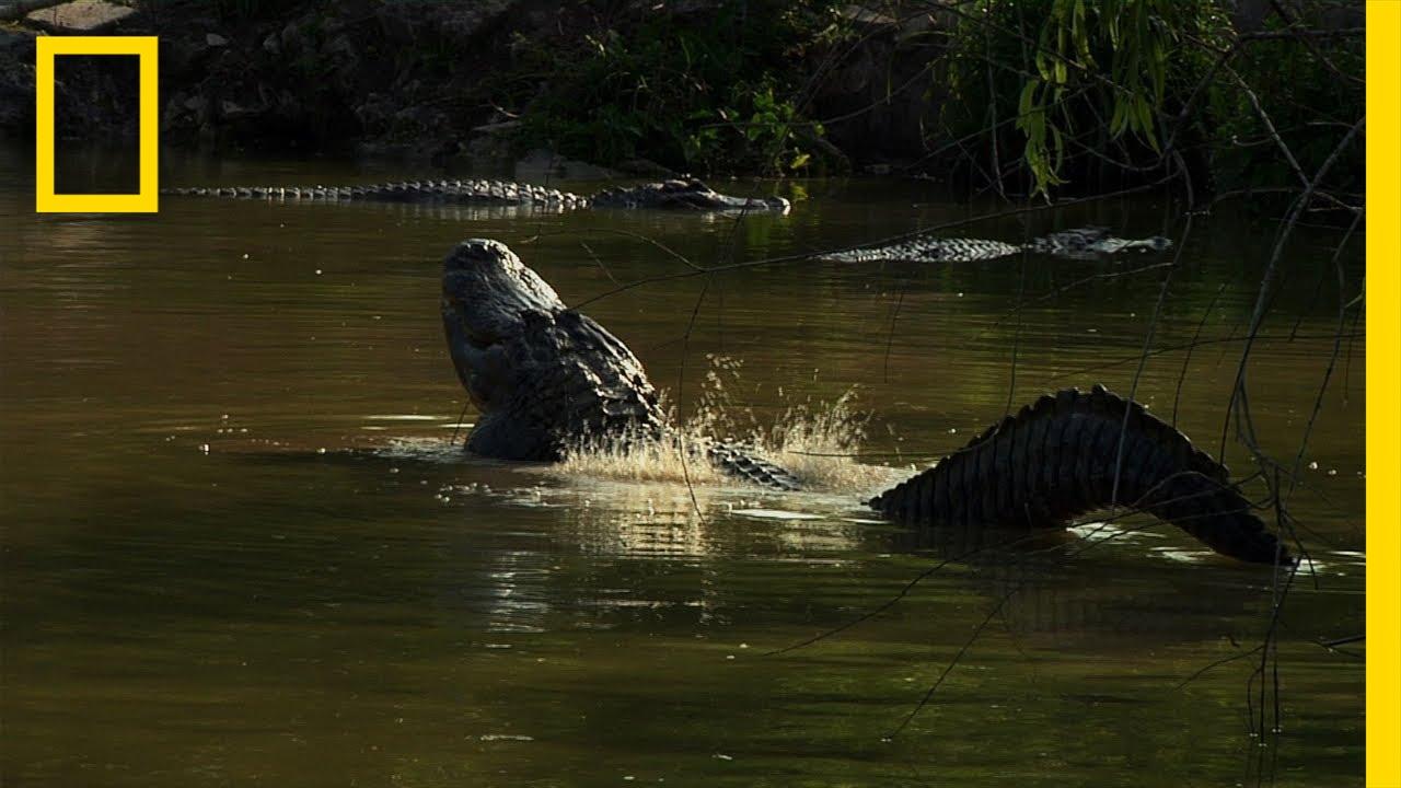 Gator Romance | Untamed Americas