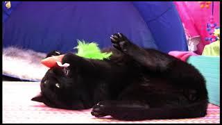 #BlackcatAppreciationDay - Black Cat Parties with Cat Nip Carrot