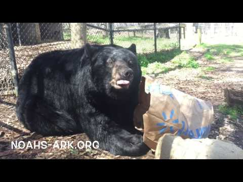 Tuffy, bear with paper forage bag at Noah's Ark Animal Sanctuary