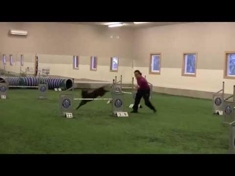 Australian Kelpie - Agility Course
