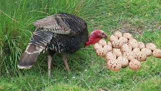 Turkey Dancing And Laying To Many Eggs- Baby Turkey Hatching Video