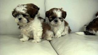 Shih Tzu Puppies For Sale - Toronto Area [call 416-809-0061]
