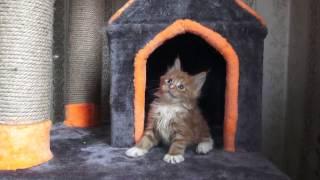 ЛИРИКУМ Бароян Бестович 1,5  мес солнечный красавчик котик мейн-кун