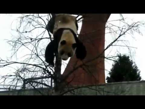 Panda Falls Out Of A Tree Youtube