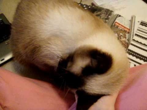 Affectionate Siamese cat