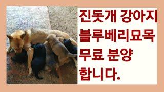 진돗개 강아지+블루베리묘목 무료 분양합니다.(분양완료)