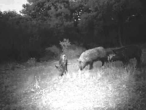 LIVEOAK FORKS RANCH Hogs 2