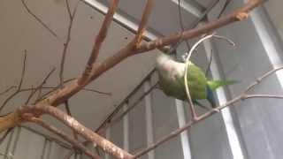 Free flight Quaker parrot pet Quaker parrot