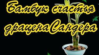 Бамбук счастья драцена Сандера(http://www.na-taliru.ru/cvetovodstvo/ Бамбук счастья драцена Сандера Бамбук? Нет! - Это Драцена Сандера. Ее прозвище - бамбук..., 2014-11-14T23:52:40.000Z)