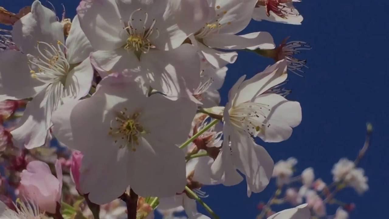 Flowering Cherry Massive Roots Youtube