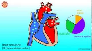 Human heart - structure and functioning