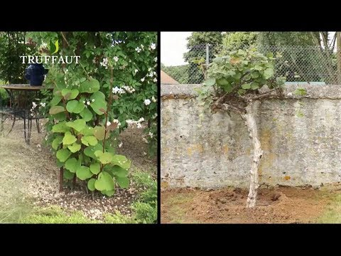 planter un arbre a the