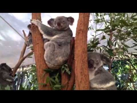 Cuddling with Koalas!