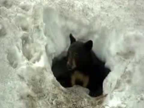 black bear coming out of it 39 s winter den youtube. Black Bedroom Furniture Sets. Home Design Ideas