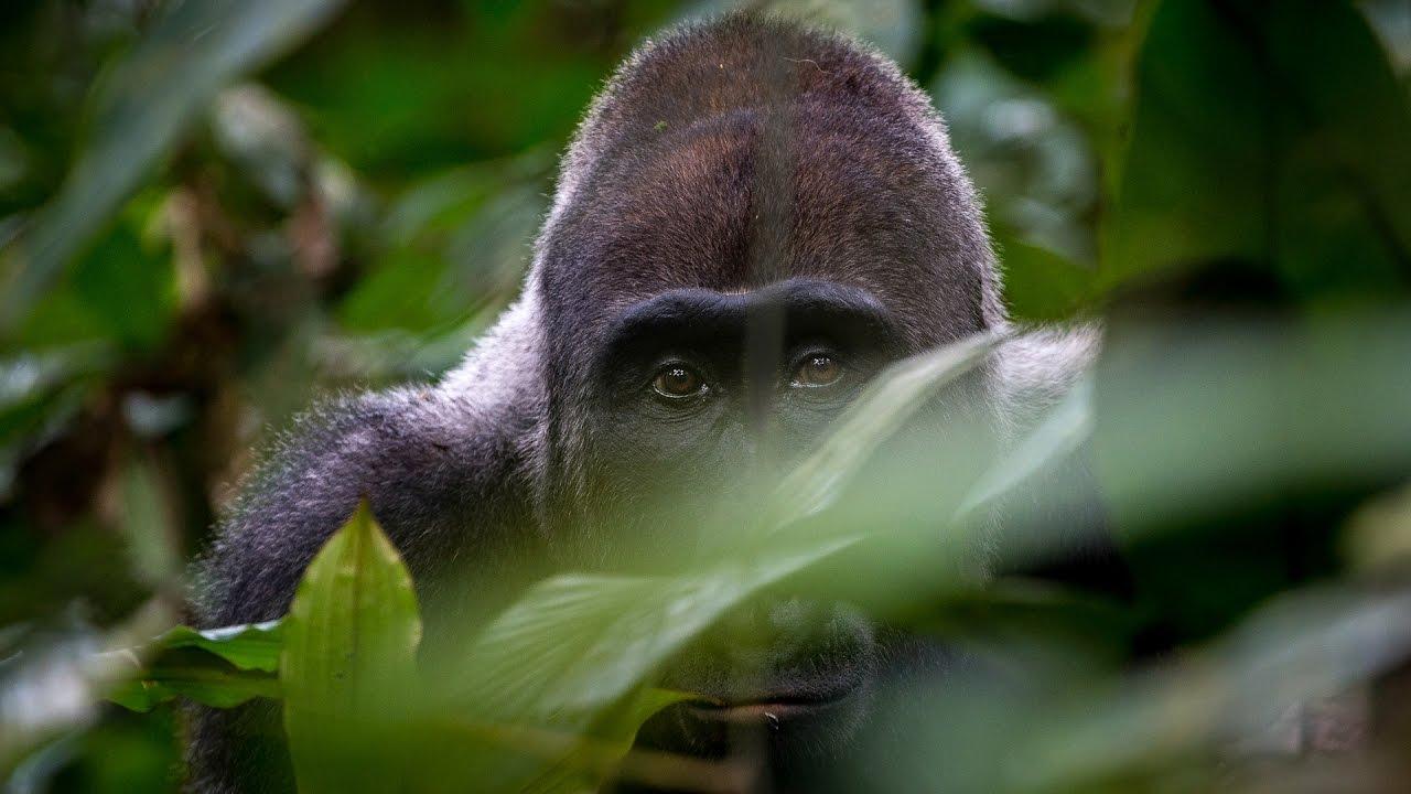 Gorilla Doku