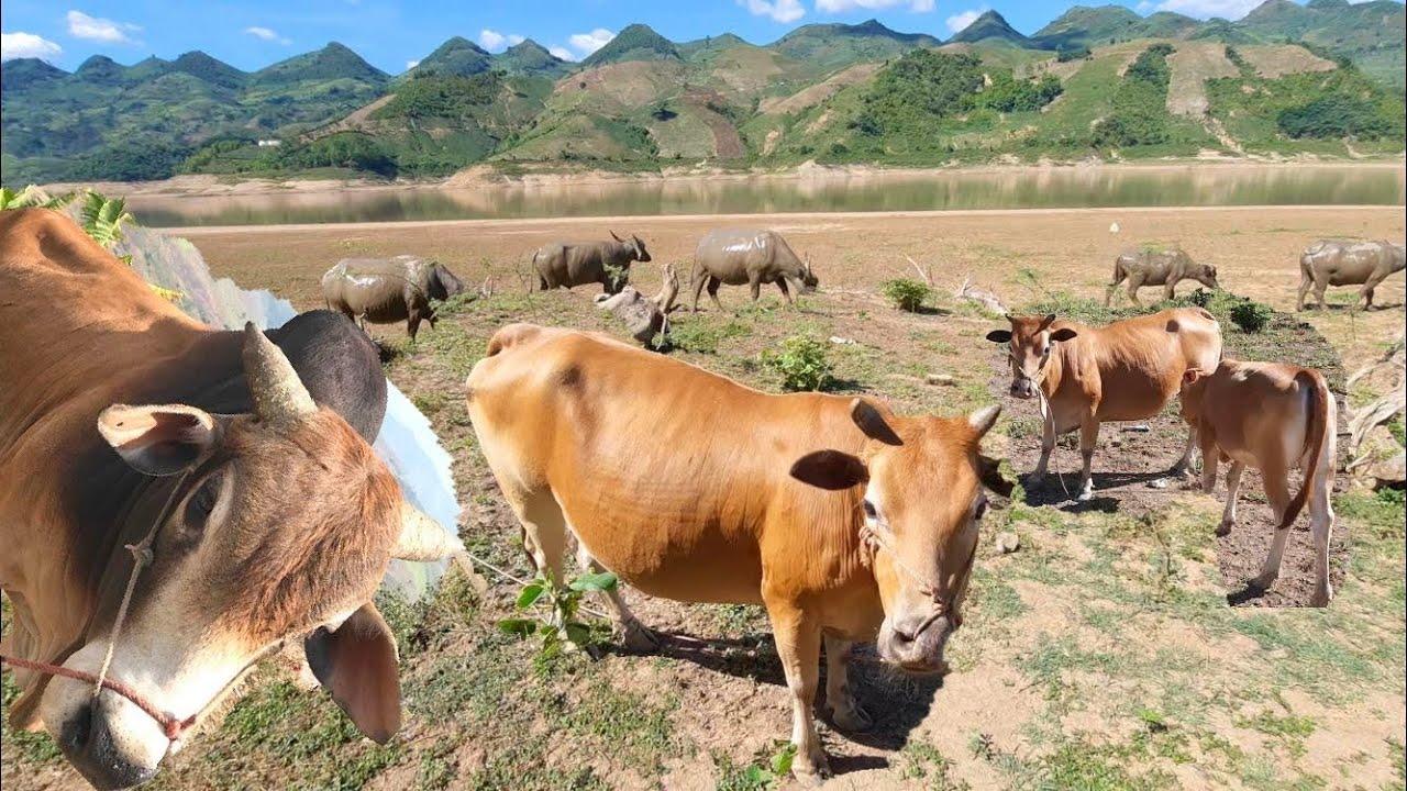 COW BABY / TRÂU GIỐNG ĐẸP / BÒ GIỐNG / BÒ VÀNG VIỆT NAM