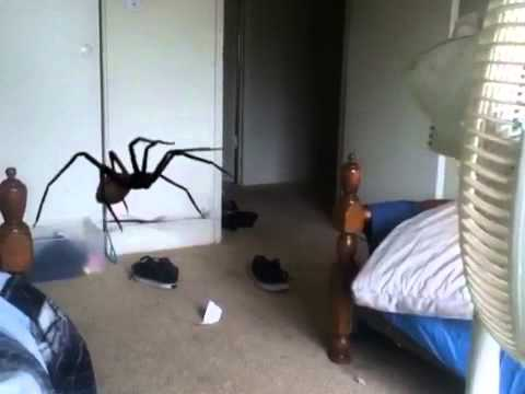 Giant spider attack (real) - YouTube