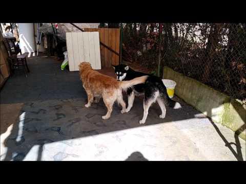 Heat(ed) play: Golden Retriever wants to, but Alaskan Malamute isn't for it   Dog in Heat