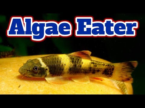 Panda Garra Fish Care- Algae Eater Fish