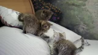 Британским котятам 7 недель -  http://gala-cat.ru