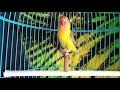 Lovebird Ngekek Panjang Cocok Untuk Masteran Lovebird Paud D Jamin Ngikut Ngekek  Mp3 - Mp4 Download