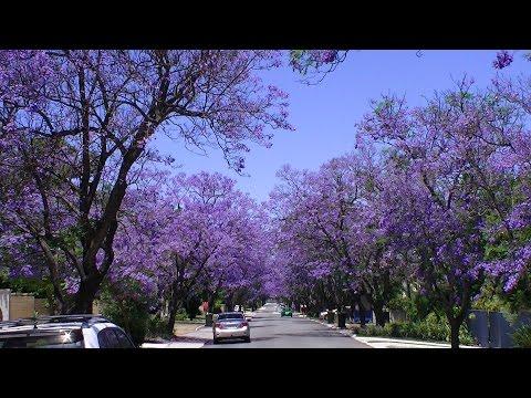 The Jacaranda Trees Of Applecross
