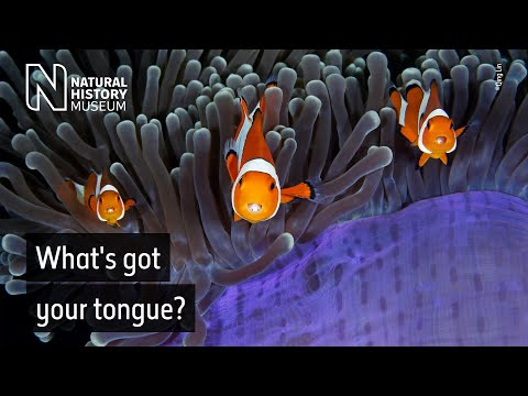 Look Into My (other) Eyes... The Clownfish And Their Parasitic Isopods | Natural History Museum