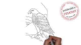 Как нарисовать орла охраняющего территорию(Как нарисовать картинку поэтапно карандашом за короткий промежуток времени. Видео рассказывает о том,..., 2014-07-06T06:59:03.000Z)
