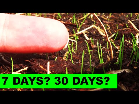 How long does it take for KBG to germinate?