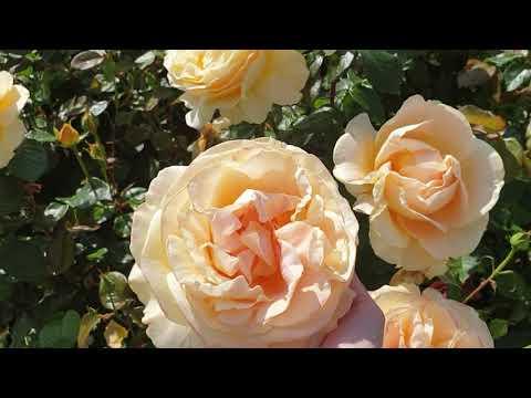 Розы Tantau (Tантау )Германия 2020