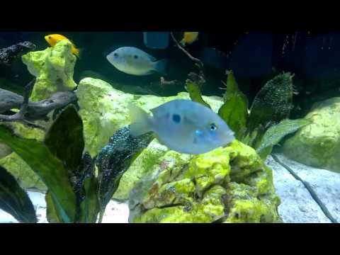 fish brackish tank etroplus suratensis green chromide guppy humpback ...