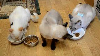 Улётное видео! Кто из котов больше съел?! Тайские кошки - это чудо! Funny Cats